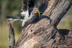 Yellow-billed hornbill with Praying matis. stock photo
