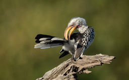 Yellow Billed Hornbill preening, Botswana Stock Photography