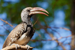 Yellow-billed Hornbill sitting on a branch and rest Royalty Free Stock Image