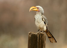 Yellow-Billed Hornbill Stock Image