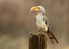 Yellow-Billed Hornbill. Sitting on gumpole Stock Image