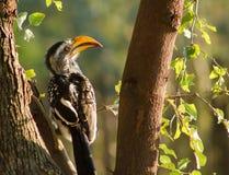Yellow Billed Hornbill Royalty Free Stock Photos