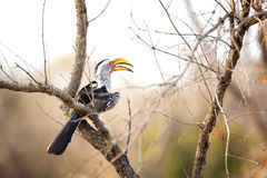 Yellow-billed hornbill sitting in a tree. Stock Photography