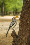 Yellow billed hornbill standing on a branch in Kruger Park. South Africa Stock Photography