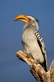 Yellow-billed hornbill Royalty Free Stock Photo