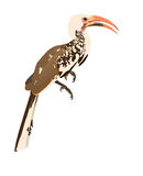 Yellow billed Hornbill Toko Royalty Free Stock Photo