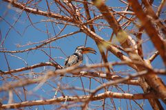 Yellow-billed hornbill on a tree with blue sky royalty free stock photo