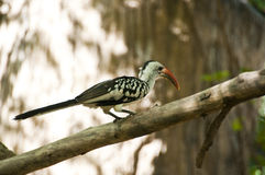 Yellow-billed hornbill. Stock Image