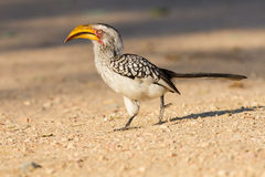 Yellow billed hornbill walking on ground looking and begging for Royalty Free Stock Image