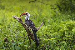 Yellow billed hornbill walking on ground looking and begging for Royalty Free Stock Photos