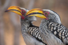 Yellow Billed Hornbills. Pair of Southern Yellow-billed Hornbill, found in southern Africa Stock Photography