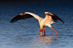 Yellow-billed hunting for food Royalty Free Stock Photography