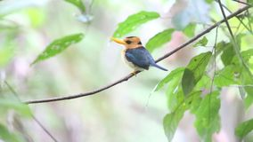 Yellow-billed Kingfisher stock footage