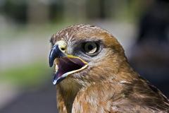 Yellow-billed Kite Stock Image