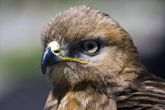 Yellow-billed Kite Stock Photo