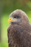 Yellow-billed Kite Royalty Free Stock Photography