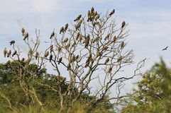 Yellow billed kite. S sitting in a tree Stock Photography