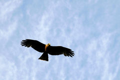 Yellow billed kite. A yellow billed kite flying Stock Images