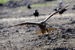 Yellow billed kite. A yellow billed kite flying Royalty Free Stock Image