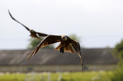 Yellow billed kite. A yellow billed kite flying Stock Photo