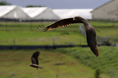 Yellow billed kite. A yellow billed kite flying Stock Photos