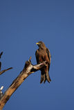 Yellow-billed Kite Stock Images