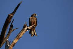 Yellow-billed Kite Stock Photography