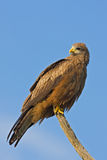 Yellow-billed kite Royalty Free Stock Image