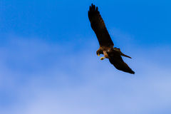 Kite Eagle Bird Catch Prey Mid-Air Stock Photo