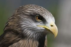 Yellow-billed Kite Milvus aegyptius Royalty Free Stock Photos