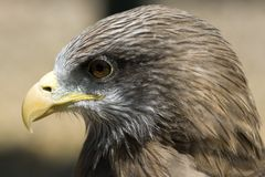 Yellow-billed Kite Milvus aegyptius Royalty Free Stock Photography