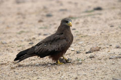 Yellow-billed kite (Milvus aegyptius). In Kruger National Park, South Africa Stock Photography