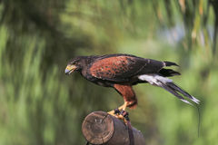Yellow-billed kite (Milvus aegyptius) sits on the ground Royalty Free Stock Photography