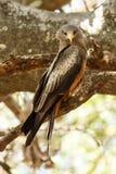 Yellow Billed Kite - Okavango Delta - Moremi N.P. Royalty Free Stock Images