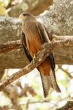 Yellow Billed Kite - Okavango Delta - Moremi N.P. Royalty Free Stock Photography