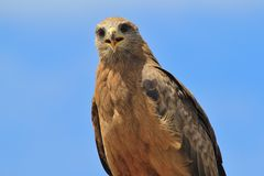 Yellow-billed Kite - Raptor Background from Africa - Expressing Life Royalty Free Stock Photo