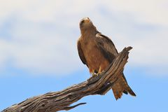 Yellow-billed Kite - Raptor Background from Africa - Sky Lover Stock Image