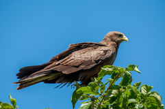 Yellow Billed Kite on top of a Tree Royalty Free Stock Images