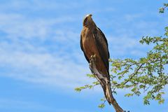 Yellow-billed Kite - Wild Bird Background from Africa - Pose of Power Stock Image