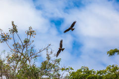 Kites Eagle Birds Flying Trees Stock Photography