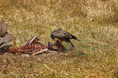 Yellow-billed Kites feeding on a kill. Scavengers on the plains of Africa, picking the bones clean on a carcase Stock Photo