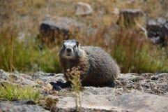 Yellow-billed Marmot Marmota flaviventris in Yellowstone National Park, Wyoming, USA. royalty free stock photo
