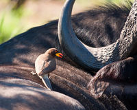 Yellow billed ox-pecker on buffalo. Looking for ticks royalty free stock photography