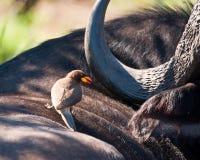 Free Yellow Billed Ox-pecker On Buffalo Royalty Free Stock Photography - 27825997