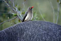 Kruger Yellow-billed oxpecker bird Stock Image