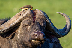 Yellow Billed Oxpecker Royalty Free Stock Images