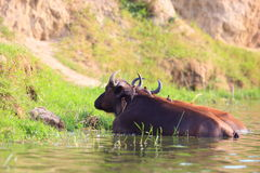 Yellow-billed oxpecker in Uganda Royalty Free Stock Images
