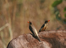 Yellow-billed Oxpeckers on Donkey Royalty Free Stock Image