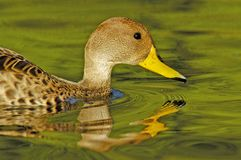 Yellow-billed Pintail Anas georgica Stock Photography
