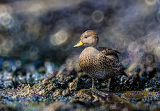 Yellow-billed pintail duck in South Georgia near Antarctica Royalty Free Stock Images